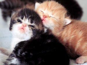 Anak kucing persia